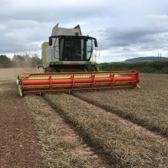 Scraping up vining Charlie Pea Seed for LG Seeds.